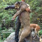 Colorado Trophy Mountain Lion Photo-6