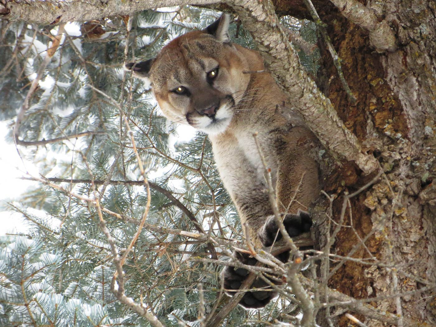 Mountain Lion - Whitaker Brothers Hunting Company