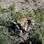 Mountain Lion Hunt