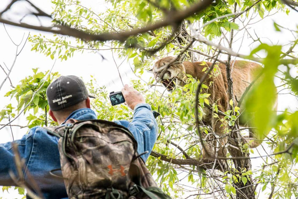 Getting up close to a mountain lion