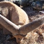 Whitaker Brothers Hunting Company: Aoudad Hunt